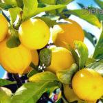 Benefici del Limone: Fa bene alla salute e fa dimagrire